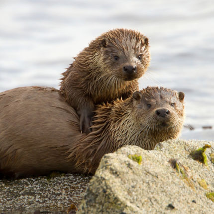 Otters on the Isle of Skye